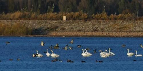 甘肃戈壁湿地初冬暖阳洒湖面 天鹅觅食戏水中