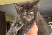 """吓人!俄罗斯猫科专家培育出一窝""""人脸""""猫"""