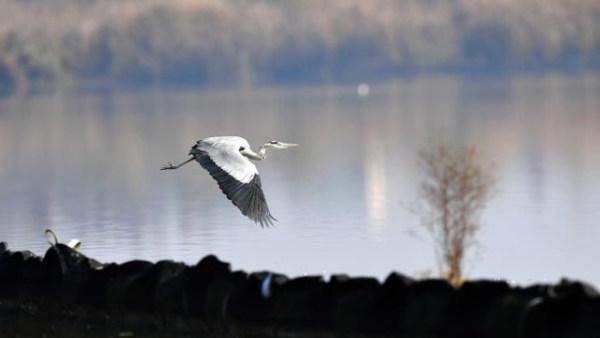 """安徽巢湖:湿地重生再现""""候鸟翔集"""""""