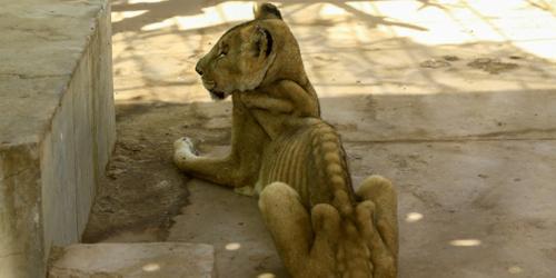 苏丹一家动物园内狮子饿到瘦骨嶙峋 好似行走的骨架