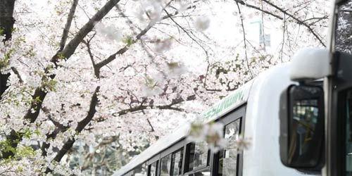 """上海""""樱花车站""""迎来烂漫季节"""