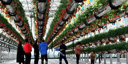 河南夏邑推动农业发展?空中草莓透心甜