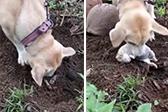 菲律宾狗妈妈挖出死去幼崽尸体欲将其救活