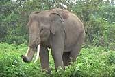 养不起了!泰国驯象员将8头大象放归山林