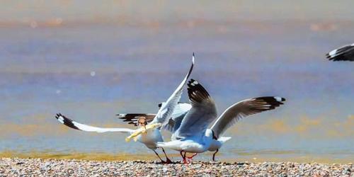 场面激烈!棕头鸥青海湖岸边抢食湟鱼