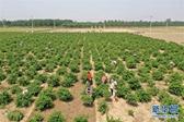 河北清河:金银花种植助增收