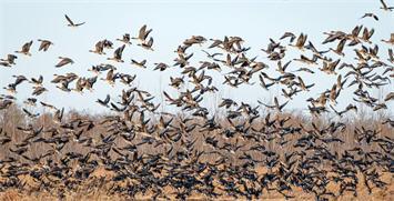 山东东营:候鸟翔聚黄河口
