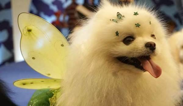 萌化人心 巴西圣保罗狗狗化妆大会