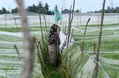 """印尼农民为作物安上""""蚊帐""""抑制鸟类侵害"""