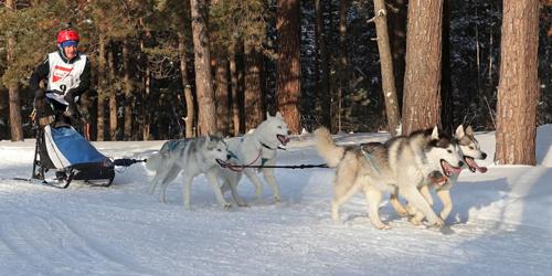 战斗民族的狗狗也厉害!俄罗斯举行圣诞狗雪橇比赛