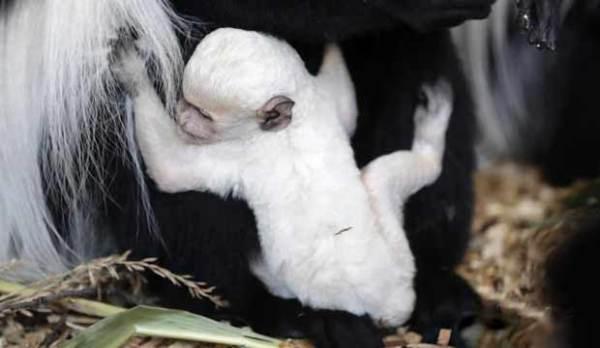 新生东非黑白疣猴通体雪白像个小精灵