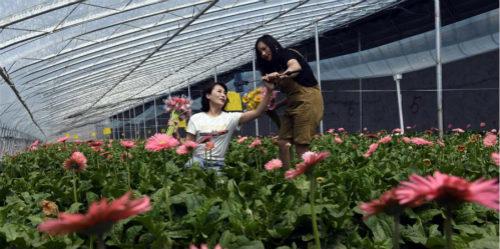 鲜花种植助脱贫