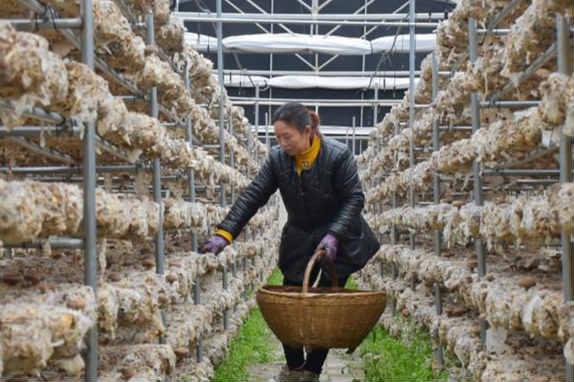 香菇种植模式升级 助力卢氏脱贫摘帽