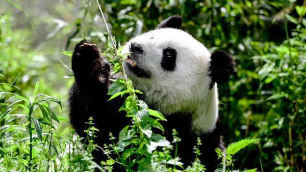 柏林动物园大熊猫啃竹子憨态可掬