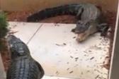 鳄鱼在女子家门口打架