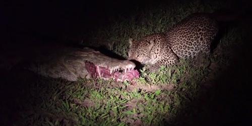 胆大包天!非洲一只豹子从睡着的鳄鱼嘴里偷肉吃