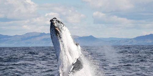 """新西兰座头鲸罕见腾空出水 侧翻后翻""""表演欲""""好强"""