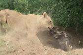 力量惊人!南非一只饥饿狮子将疣猪从洞里拽出来
