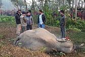 惨!印度一头大象在跨越铁轨时被火车撞死