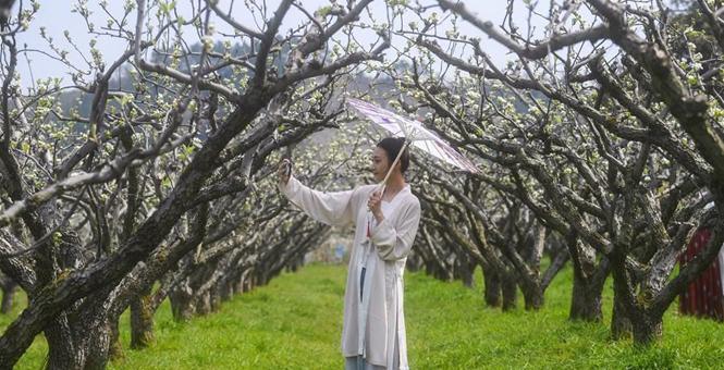 万亩梨花赏春色