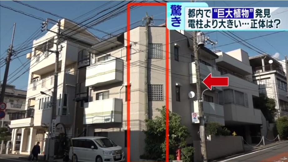 """日本陌头泛起""""怪物仙人掌"""":长了40年 高过3层楼 第1张"""