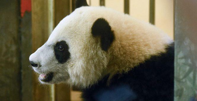 """旅美大熊猫""""贝贝""""将回国 欢送活动启动"""