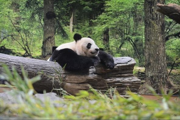 3只旅日熊猫租借期将满 日本急于延期:它们是大明星 第1张