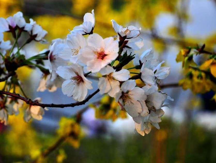 云游中国|来陶然亭公园看春花烂漫