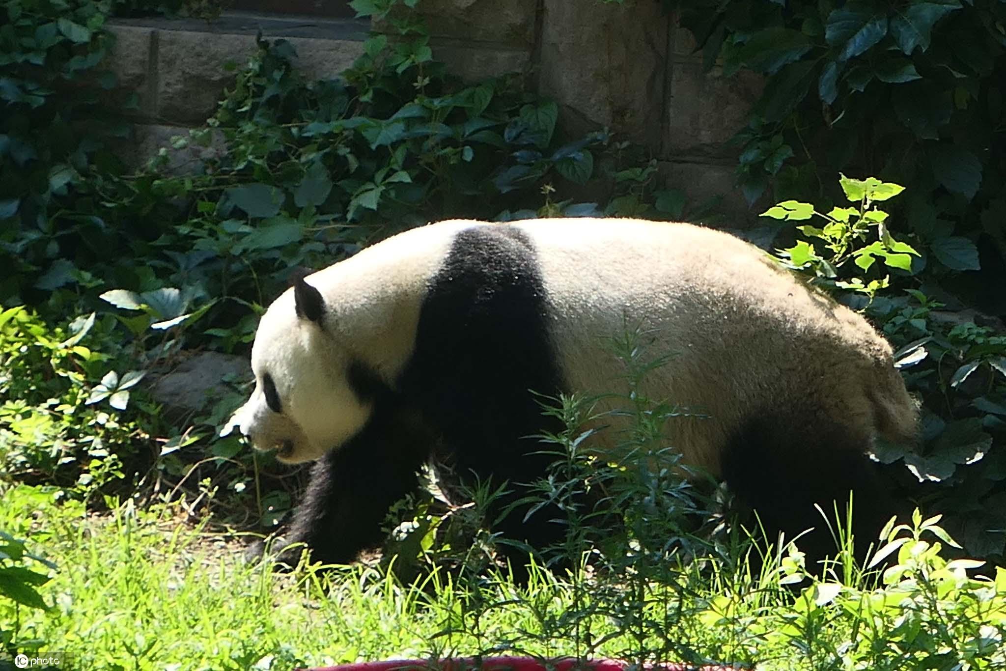 """北京:大熊猫快乐玩一""""夏"""" 玩起""""躲猫猫""""游戏"""
