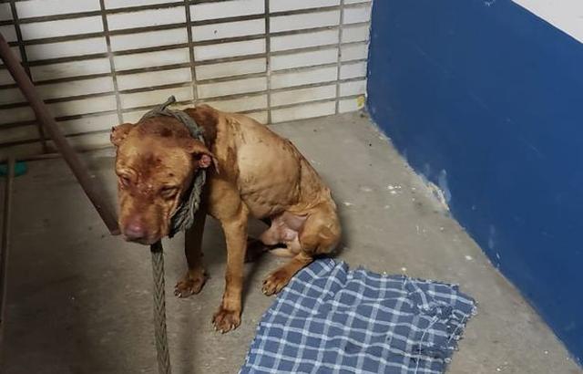 太残忍!巴西警方解救斗狗场狗狗比赛输的狗会被做成烤肉