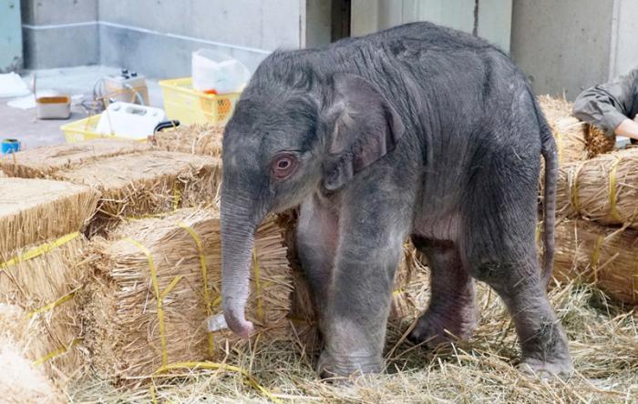 日本上野动物园降生大象宝宝 为1882年开园来首次(图) 第1张