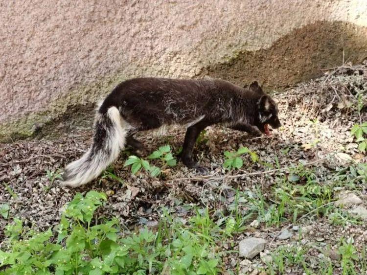 青岛崂山惊现大量北极狐、银黑狐出没!大多很虚弱,有的断腿,有的缺块耳朵…