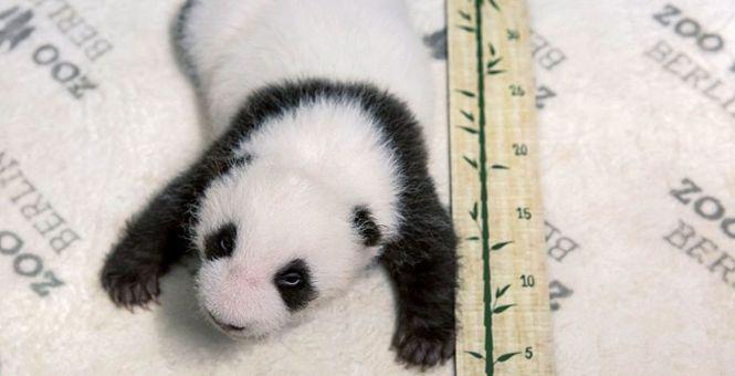 """德国:动物园公布新生大熊猫近照 正在""""茁壮成长""""萌翻了"""