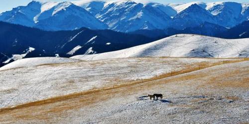 祁连山下冬雪皑皑牛羊漫步景如画