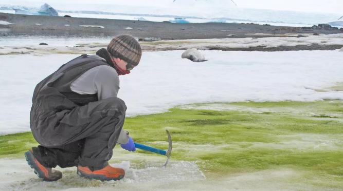 """南极洲的怪异""""绿雪""""由微细雪藻大量繁殖造成 将随着世界气候变暖而蔓延"""