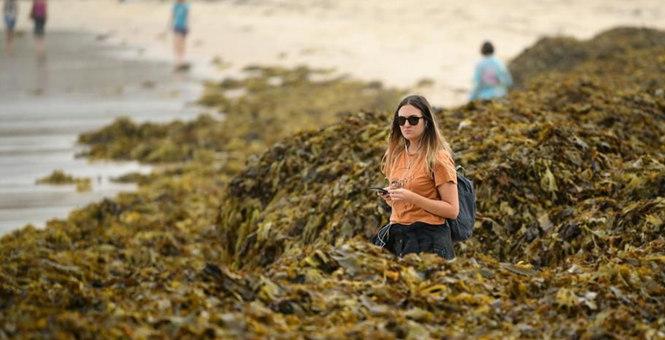 澳大利亚悉尼大量海藻冲刷上岸 堆积如山