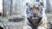 10个月大孤儿虎崽在俄罗斯村庄游荡寻求人类帮助