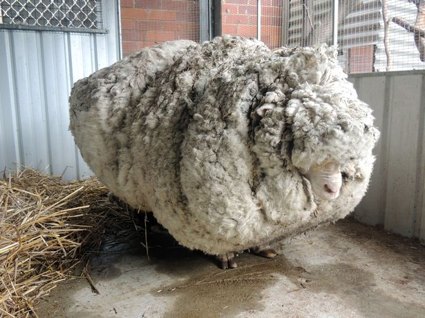 澳大利亚10岁网红绵羊去世曾一次剪下80斤羊毛
