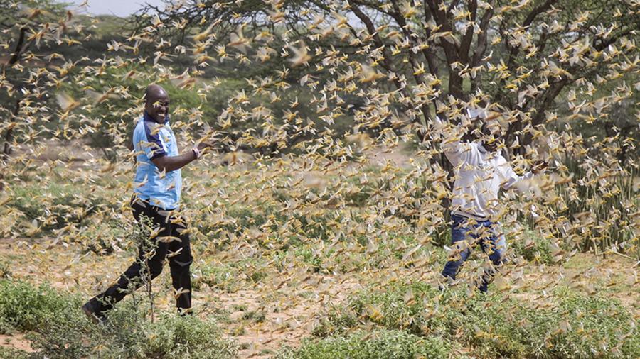 遮天蔽日!东非蝗虫灾害加剧9个月后或将增长8000倍