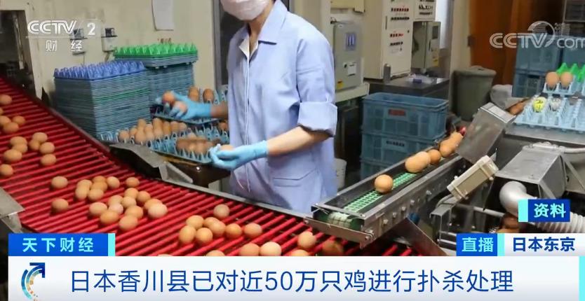 半个月,日本现多起禽流感疫情!近50万只鸡被扑杀!疫情源头或来自于... 第3张