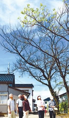 日本富山市一棵樱花树秋天开花?这是认错了季节?