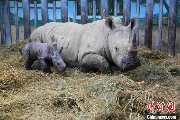 中国江北首只南非双角白犀牛在济南繁育成功 健康状况良好