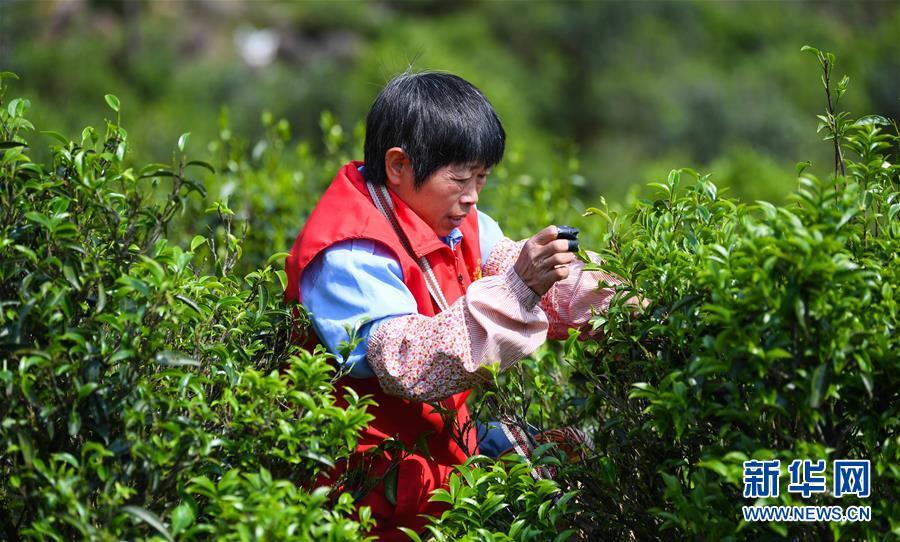 广东潮州:凤凰春意暖 茶乡复工忙