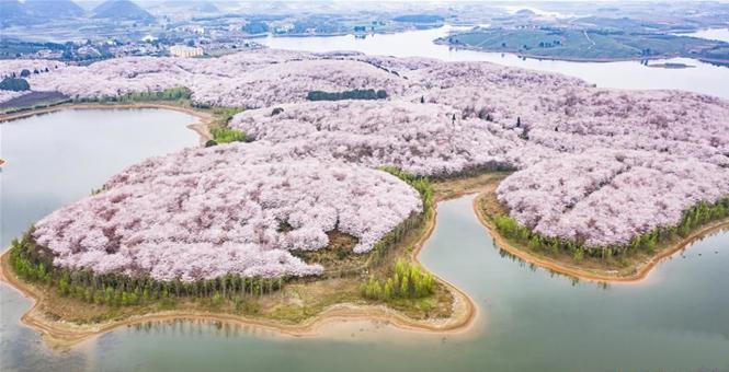 樱花盛开迎春至