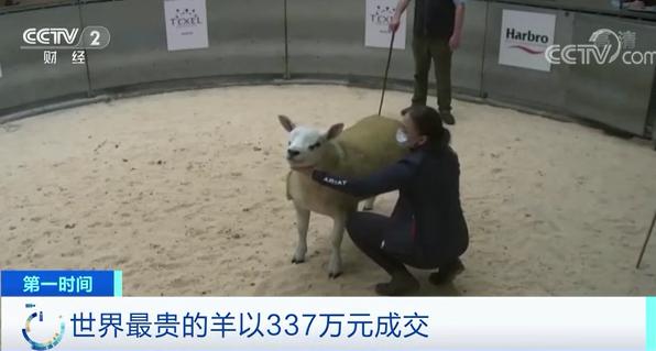 皇冠app怎么下载:世界上最贵的羊诞生了!卖出337万元!为啥这么贵? 第1张