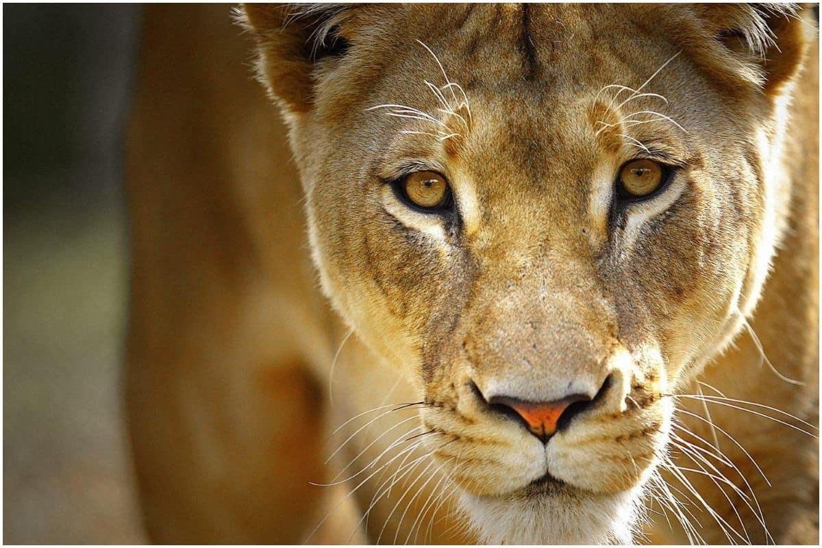 卡利系统:印度男子睡觉胸口闷得慌 睁眼一看母狮坐身上