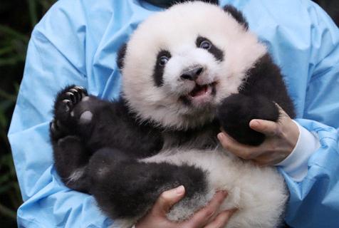 比利时新生双胞胎大熊猫亮相对着镜头打招呼又乖又萌