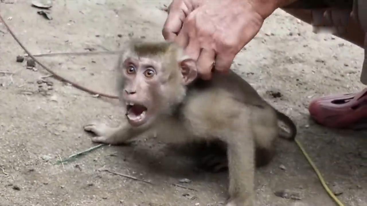 泰国农场被爆奴役猕猴上树摘椰子英国超市将相关椰子产品下架