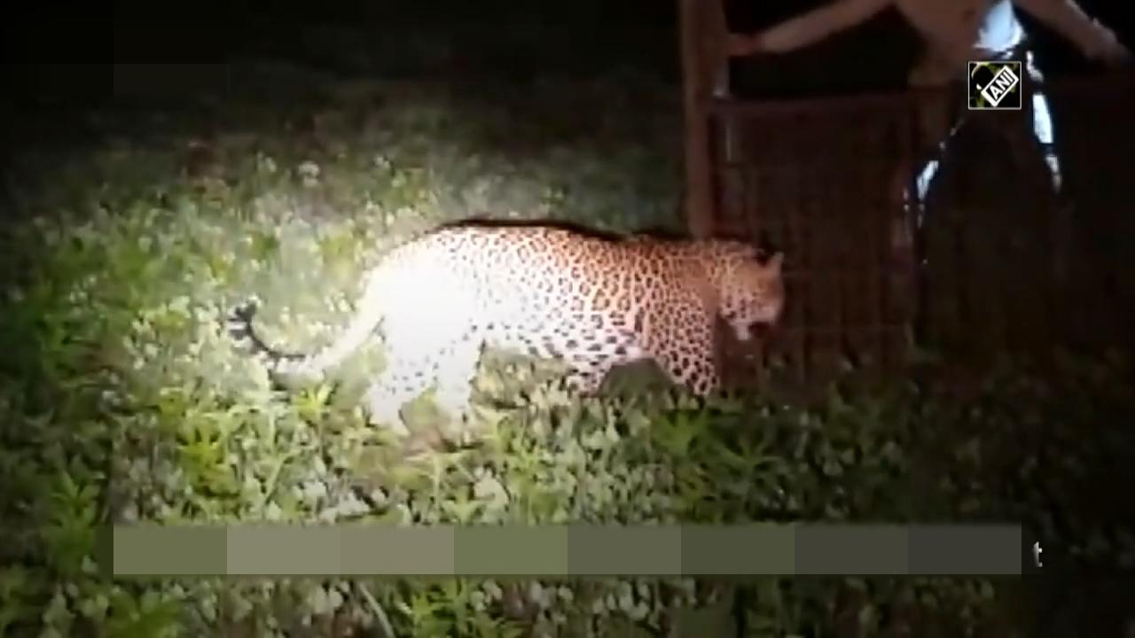 豹子闯入印度村庄遭村民追赶受伤森林部门出动将其解救