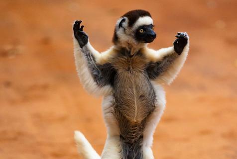 """狐猴自嗨狮子尬舞!非洲野生世界""""舞技大赏""""来袭"""